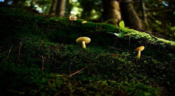 Golden teacher forest mushrooms