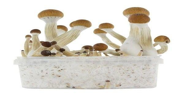 Golden Teacher mushrooms grow kit