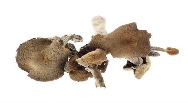 Dried golden teacher mushrooms