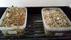 grow magic mushrooms for mycological study